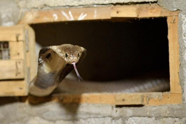 Gặp người thương binh làm giàu nhờ nuôi rắn hổ mang - 11