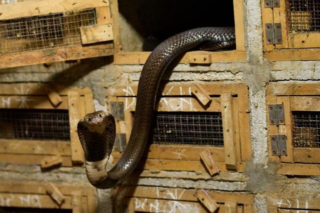 Gặp người thương binh làm giàu nhờ nuôi rắn hổ mang - 4