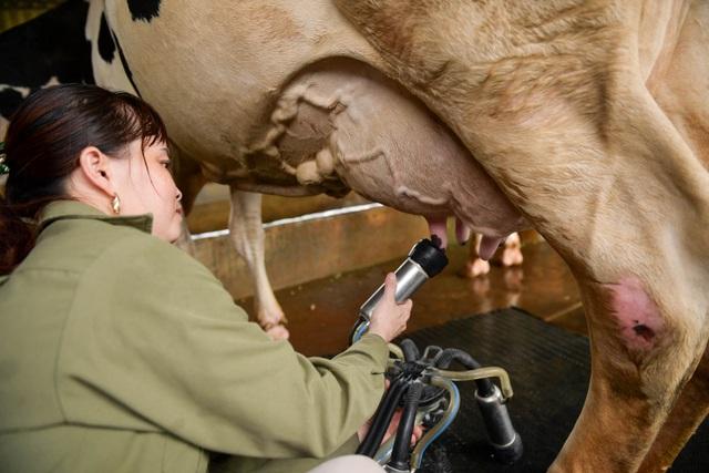 Nông dân Vĩnh Phúc vắt sữa bò kiếm tiền tỷ mỗi năm  - 10
