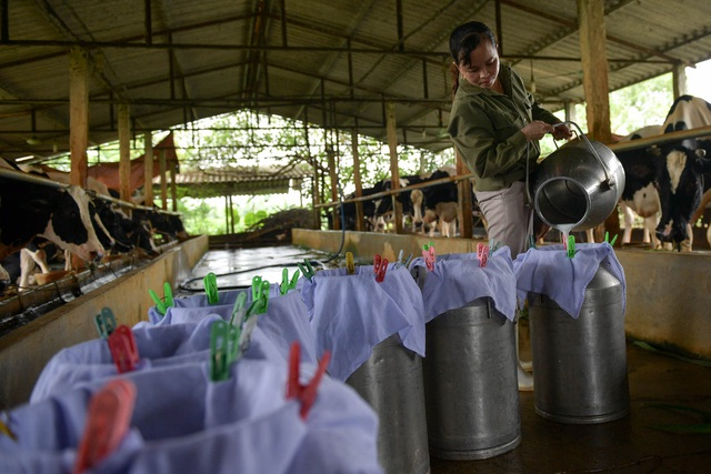 Nông dân Vĩnh Phúc vắt sữa bò kiếm tiền tỷ mỗi năm  - 12
