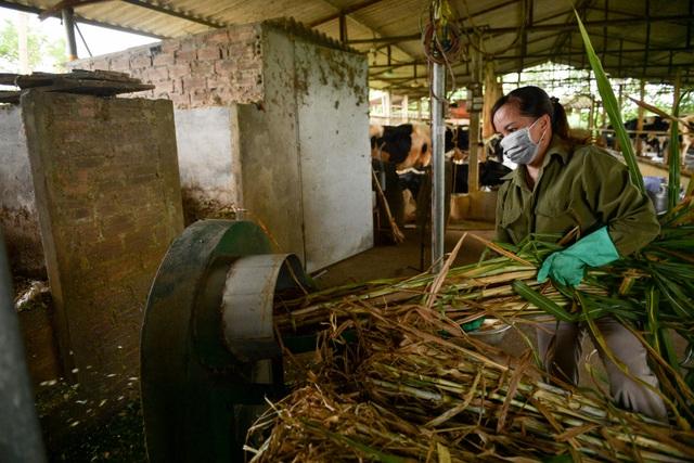 Nông dân Vĩnh Phúc vắt sữa bò kiếm tiền tỷ mỗi năm  - 6