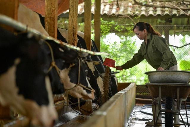 Nông dân Vĩnh Phúc vắt sữa bò kiếm tiền tỷ mỗi năm  - 7