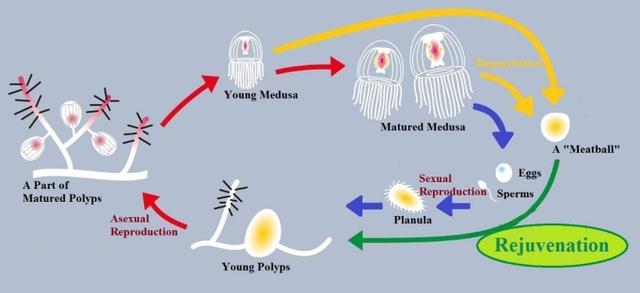 Sinh vật kỳ lạ duy nhất trên Trái đất có khả năng bất tử - 2