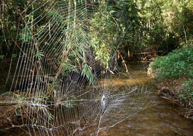 Tiết lộ bí mật của loài nhện tạo ra sợi tơ bền nhất thế giới - 2
