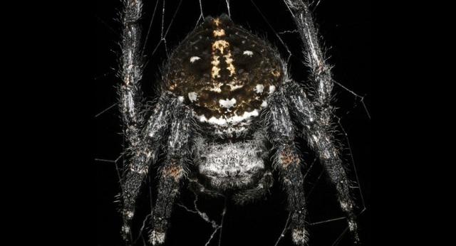 Tiết lộ bí mật của loài nhện tạo ra sợi tơ bền nhất thế giới - 1