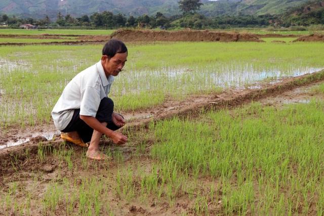Thủy điện nhà Phó giám đốc Sở nắn dòng, cả trăm ha lúa… chết khát - 2