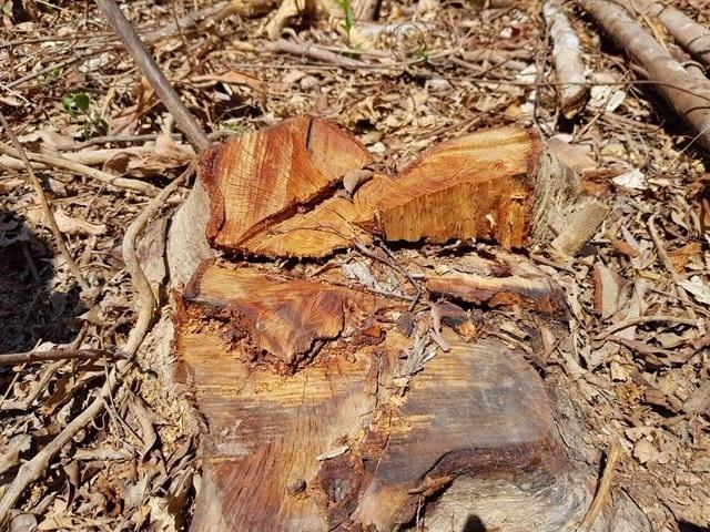 Hơn 10ha rừng phòng hộ bị lâm tặc ngang nhiên tàn phá - 1