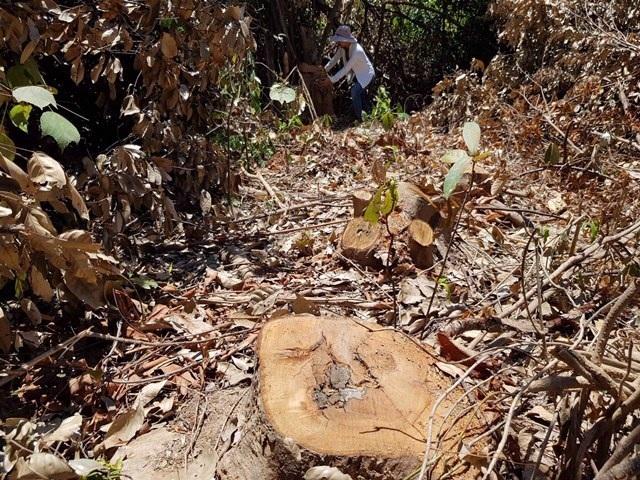 Hơn 10ha rừng phòng hộ bị lâm tặc ngang nhiên tàn phá - 2