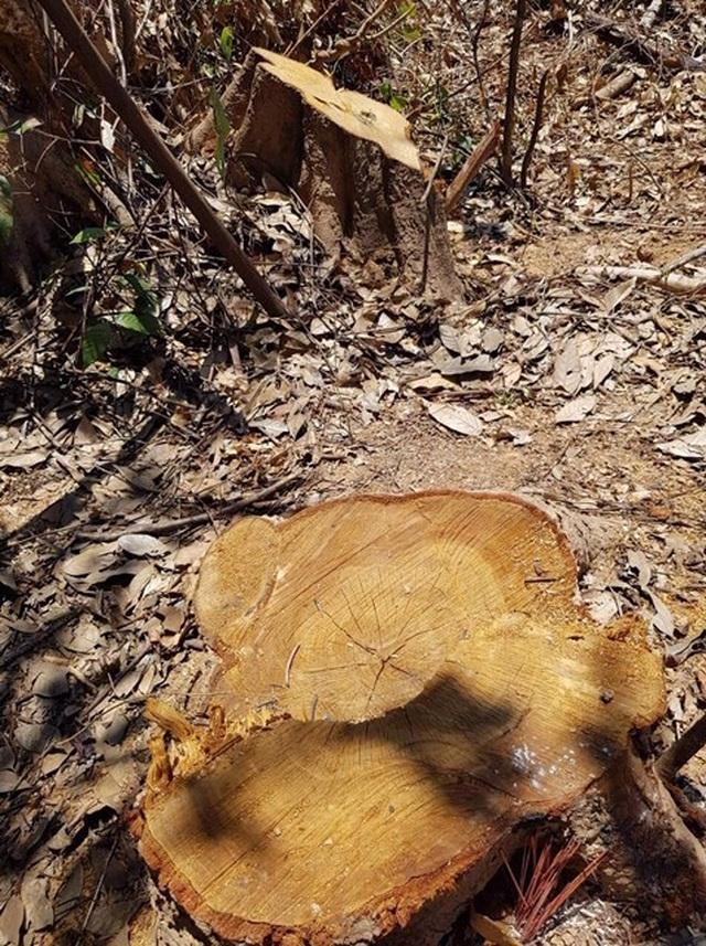 Hơn 10ha rừng phòng hộ bị lâm tặc ngang nhiên tàn phá - 4
