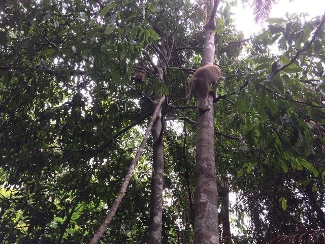 Thả 12 cá thể khỉ nguy cấp quý hiếm về với tự nhiên - 2