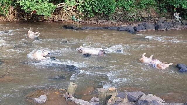 Đồng Nai: Tái diễn cảnh tràn lan vứt xác lợn chết chưa xử lý ra môi trường  - 1