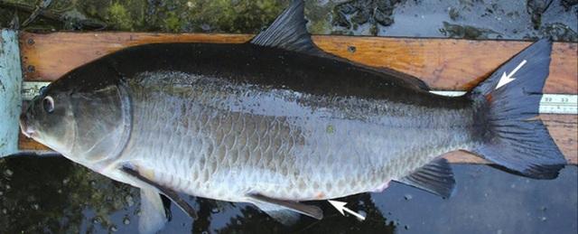 Phát hiện cá trâu nặng hơn 10 kg có từ thời Thế chiến I - 3