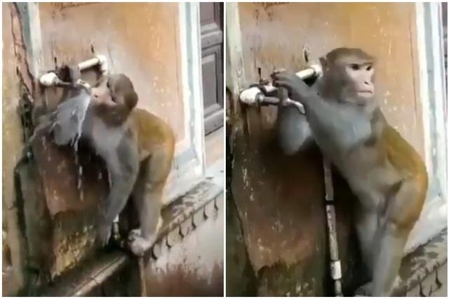 Khỉ con biết khóa vòi nước sau khi uống - 2