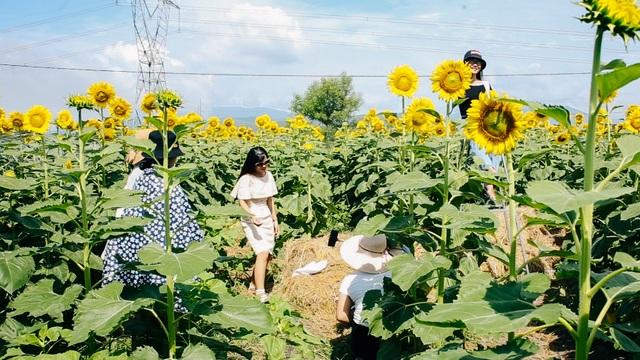 """Giới trẻ rủ nhau """"check-in"""" vườn hoa hướng dương ở Đà Nẵng - 5"""