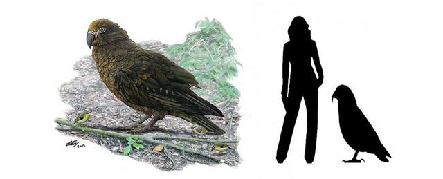 Phát hiện hoá thạch loài vẹt lớn nhất trên Trái Đất - 1