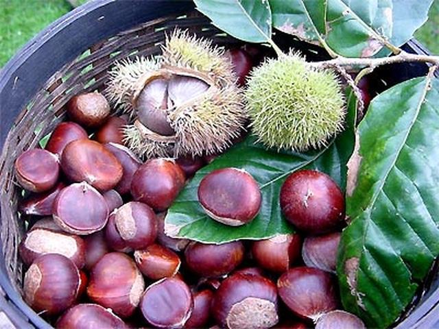 Hạt dẻ - vua của loài quả khô phòng nhiều bệnh - 1