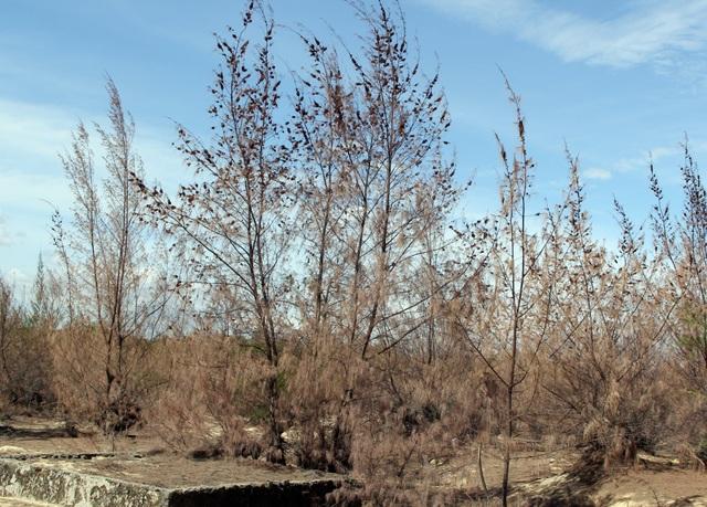 Hàng trăm ha rừng phòng hộ chết khô vì nắng hạn - 6