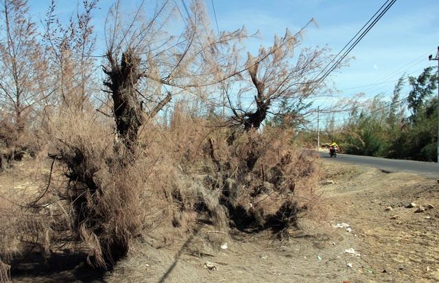 Hàng trăm ha rừng phòng hộ chết khô vì nắng hạn - 2