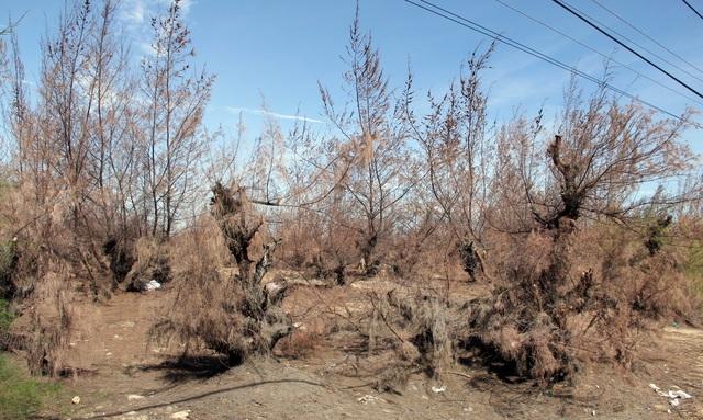 Hàng trăm ha rừng phòng hộ chết khô vì nắng hạn - 3