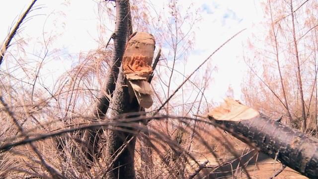 Hàng trăm ha rừng phòng hộ chết khô vì nắng hạn - 5