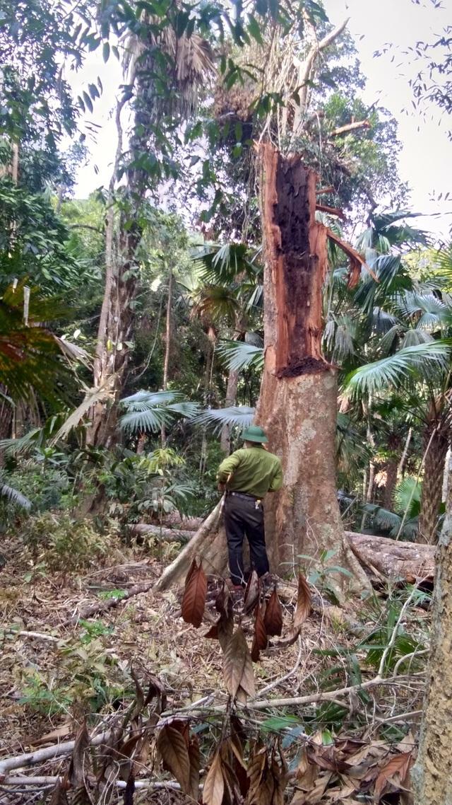 Tạm giam 3 đối tượng trong vụ phá rừng quy mô lớn tại Vườn quốc gia Pù Mát - 2