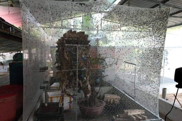 Nông dân Thanh Hóa lãi lớn nhờ... nuôi ruồi đẻ trứng vàng - 1