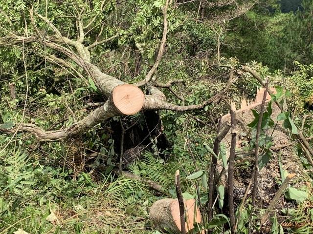 Bắt quả tang 11 đối tượng cưa hạ rừng trái phép - 2