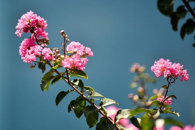Con đường hoa tường vi nở hồng lãng mạn ở Hà Nội - 3