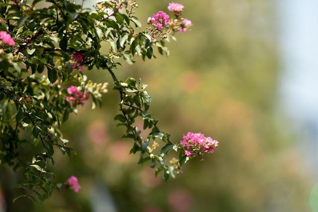 Con đường hoa tường vi nở hồng lãng mạn ở Hà Nội - 10
