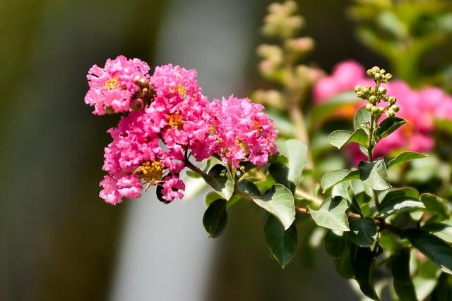 Con đường hoa tường vi nở hồng lãng mạn ở Hà Nội - 9