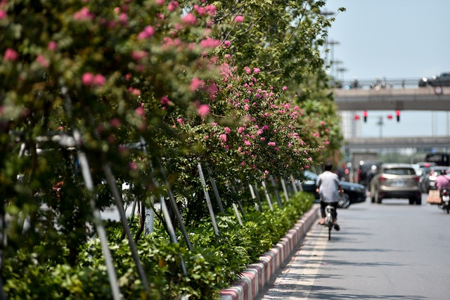 Con đường hoa tường vi nở hồng lãng mạn ở Hà Nội - 5