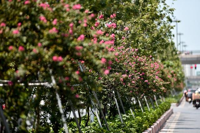 Con đường hoa tường vi nở hồng lãng mạn ở Hà Nội - 2