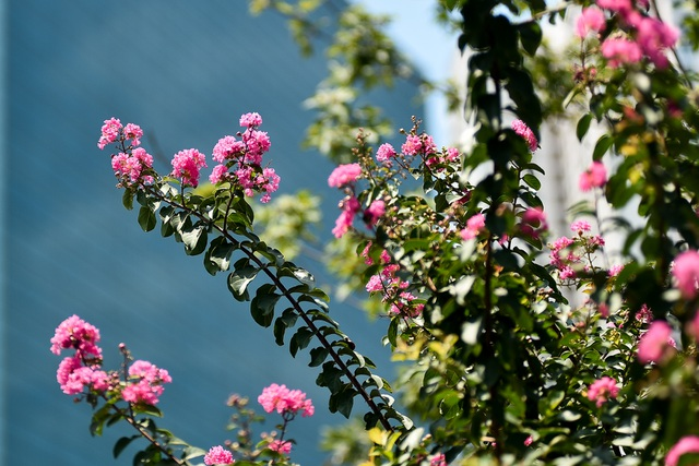 Con đường hoa tường vi nở hồng lãng mạn ở Hà Nội - 6