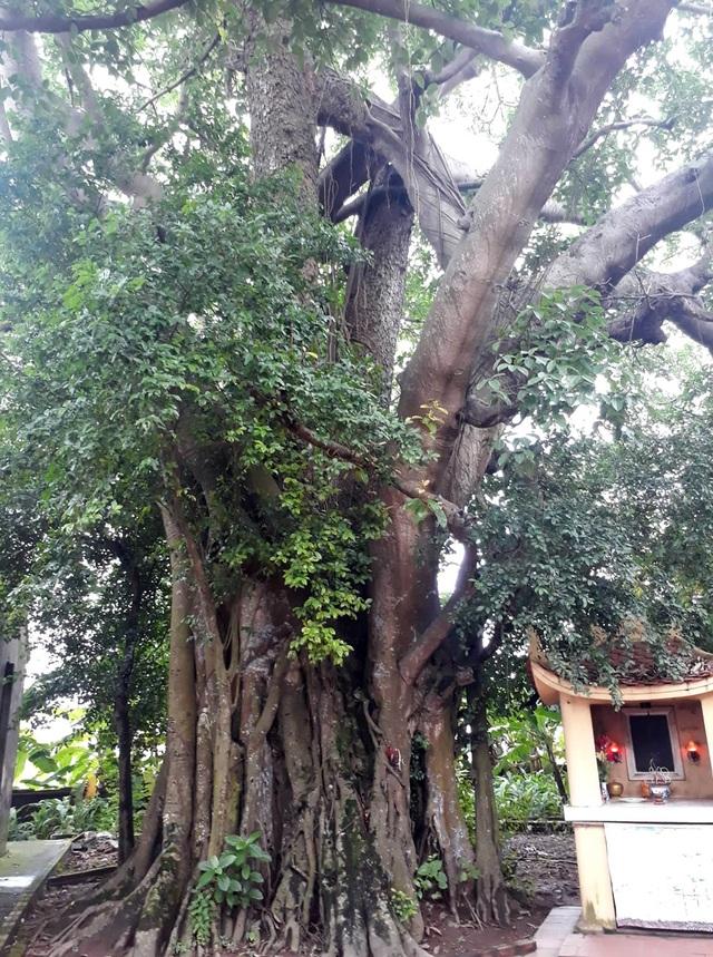 Khách thập phương đổ về chiêm ngưỡng cây đa - gạokỳ lạở Vĩnh Phúc - 2