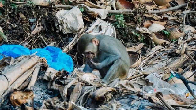 Cho khỉ ăn ở Sơn Trà: Gây nguy hiểm cho khỉ lẫn du khách - 1