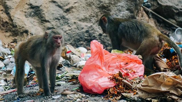 Cho khỉ ăn ở Sơn Trà: Gây nguy hiểm cho khỉ lẫn du khách - 2