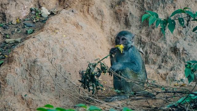 Cho khỉ ăn ở Sơn Trà: Gây nguy hiểm cho khỉ lẫn du khách - 3