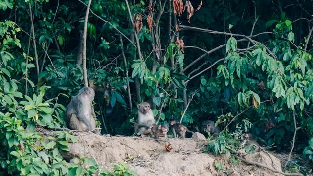 Cho khỉ ăn ở Sơn Trà: Gây nguy hiểm cho khỉ lẫn du khách - 4