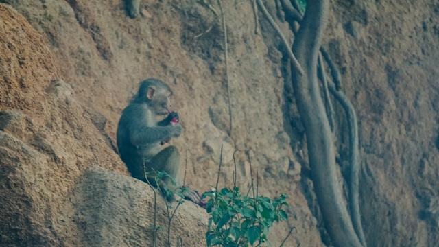 Cho khỉ ăn ở Sơn Trà: Gây nguy hiểm cho khỉ lẫn du khách - 5