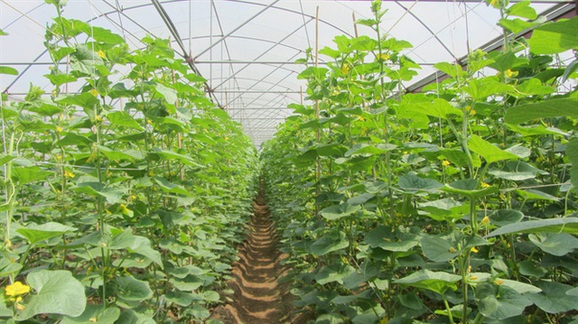 Triển vọng mô hình trồng dưa lưới tại trang trại Bình Châu - 2
