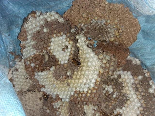 """Thuần phục ong """"tử thần"""", 8X miền núi kiếm gần trăm triệu đồng mỗi năm - 7"""