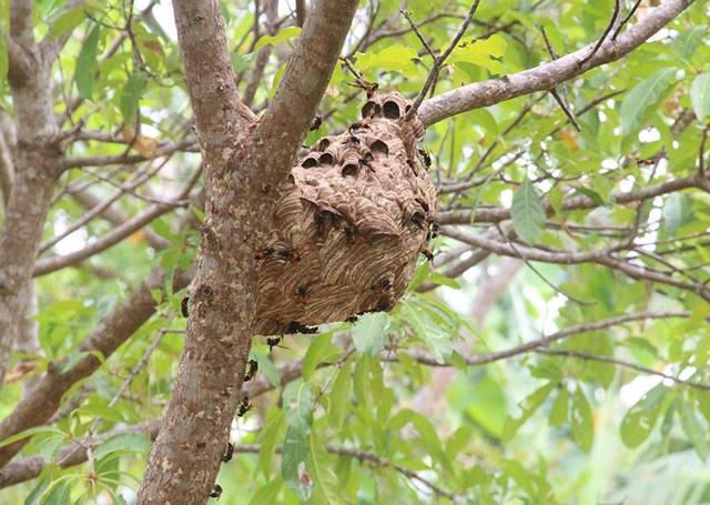 """Thuần phục ong """"tử thần"""", 8X miền núi kiếm gần trăm triệu đồng mỗi năm - 6"""