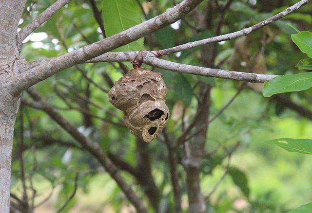 """Thuần phục ong """"tử thần"""", 8X miền núi kiếm gần trăm triệu đồng mỗi năm - 2"""