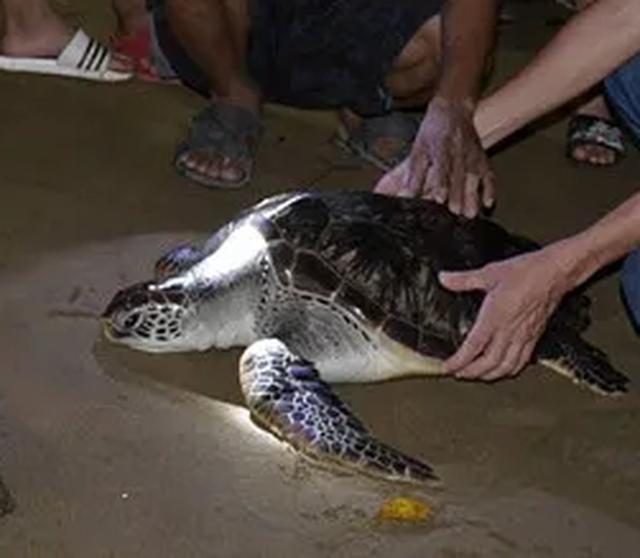"""""""Giải cứu"""" rùa biển nặng 15 kilogam đi lạc trên sông Hiếu - 1"""