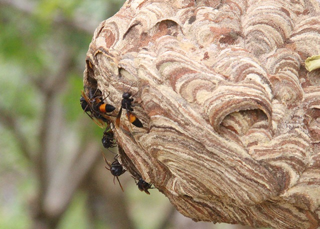 """Thuần phục ong """"tử thần"""", 8X miền núi kiếm gần trăm triệu đồng mỗi năm - 3"""