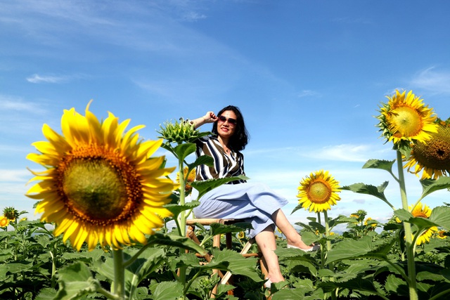 Giới trẻ phát sốt với vườn hoa hướng dương gần Hội An
