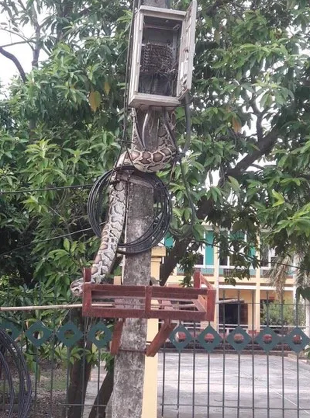 Phú Thọ: Tá hoả vì trăn khủng vắt vẻo trên cột điện đầu xóm - 1