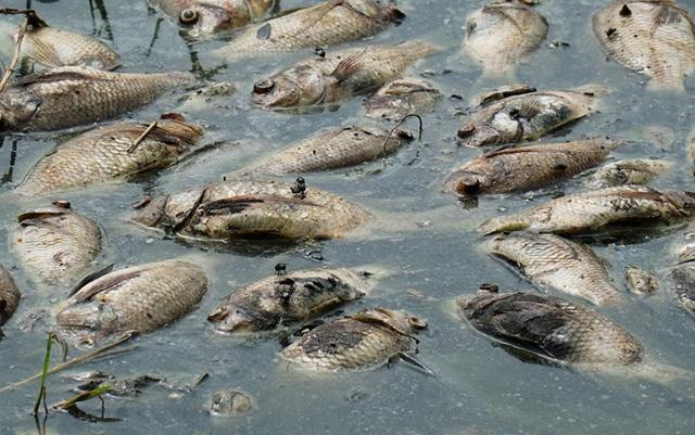 Hà Nội: Cá chết hàng loạt bốc mùi nồng nặc ở hồ Yên Sở - 4