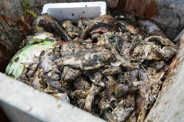 Hà Nội: Cá chết hàng loạt bốc mùi nồng nặc ở hồ Yên Sở - 10