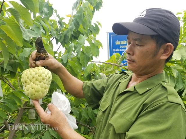 Cận cảnh giống na cho trái khủng, thu mỗi vụ trung bình 1 triệu đồng/cây - 2